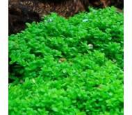 Hemianthus Callitrichoides Cuba (Tapete 5cmx5cm)